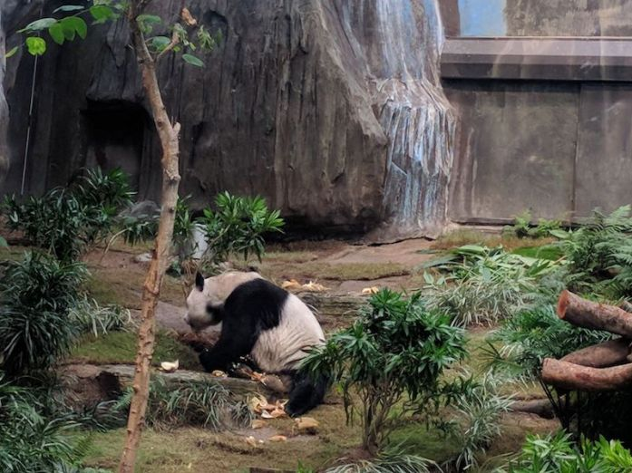 The Giant Panda at the Ocean Park