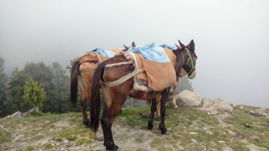 Mules carrying cement