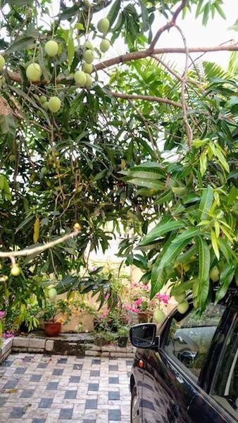 Raw mangoes at hands reach