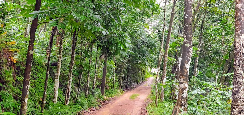 The private road leading to the houses are lined by mahogany or teak trees