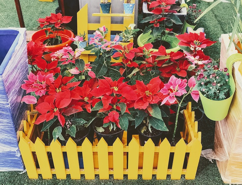 Poinsettia for sale at the mall