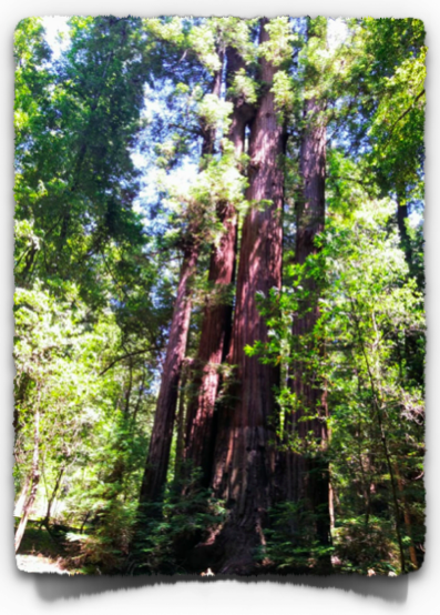 Family tree circle of Redwoods. There may be up to 10 trees bonding together