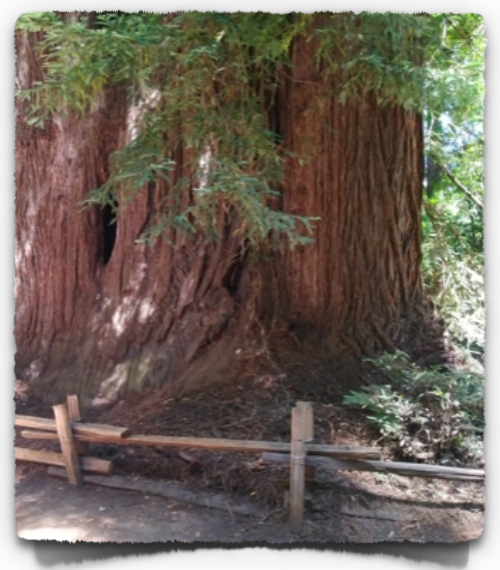 Mature Redwood trees may reach a height of 280-300 feet and diameter of 15-17 feet.