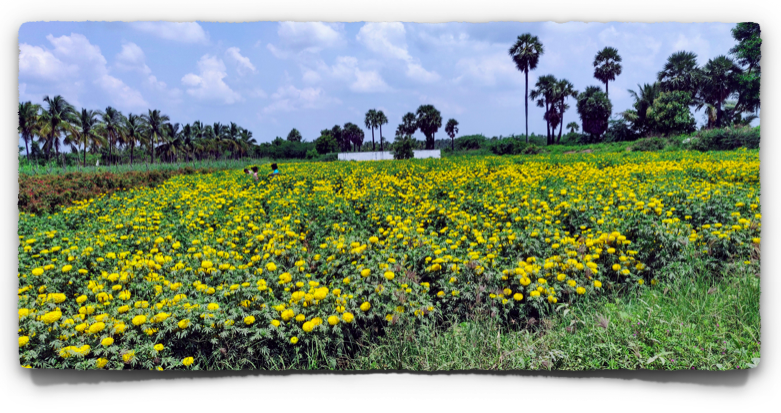Fields of Jamanthi or Marigold