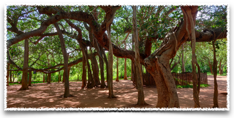 The banyan tree on the way to Matri Mandir, Auroville