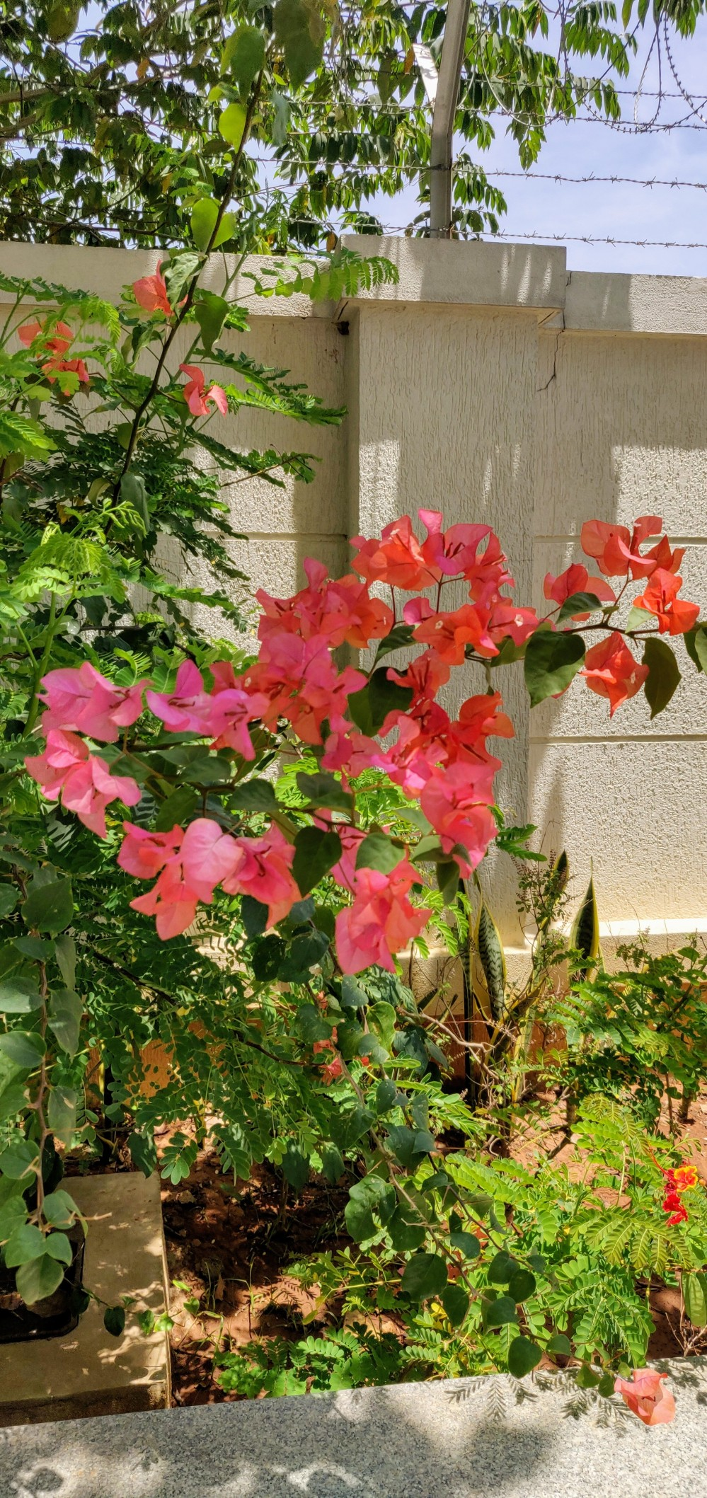 The colour on this bougainvillea is beautiful - in our apartment complex.